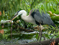 Great Blue Heron Enjoying a Meal