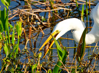 Great Egret at Lunch