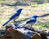 Two Western Jays
